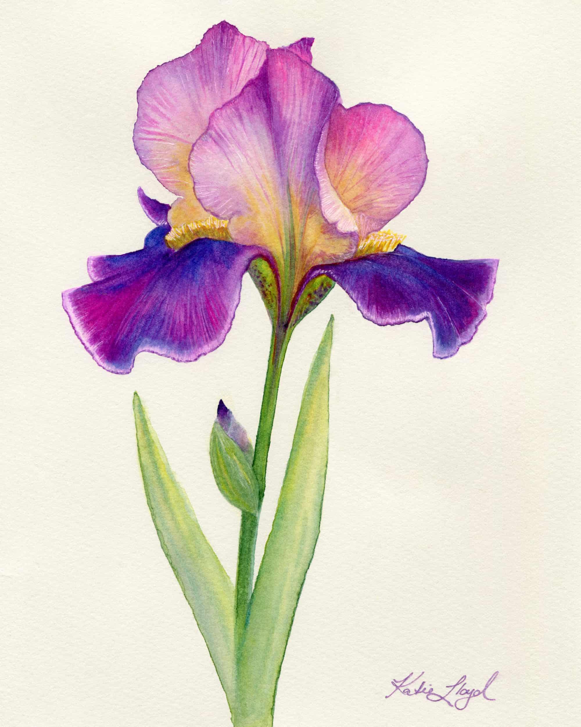Pink and purple Iris flower